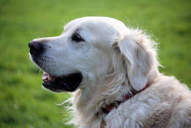 benefit-of-having-a-pet-retriever
