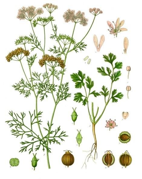 Coriandrum sativum by Franz Eugen Köhler
