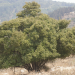 styrax-tree